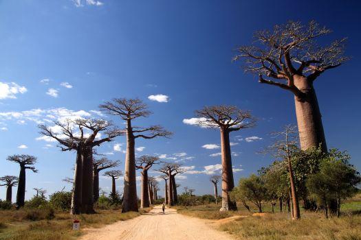 Madagascar_baobab